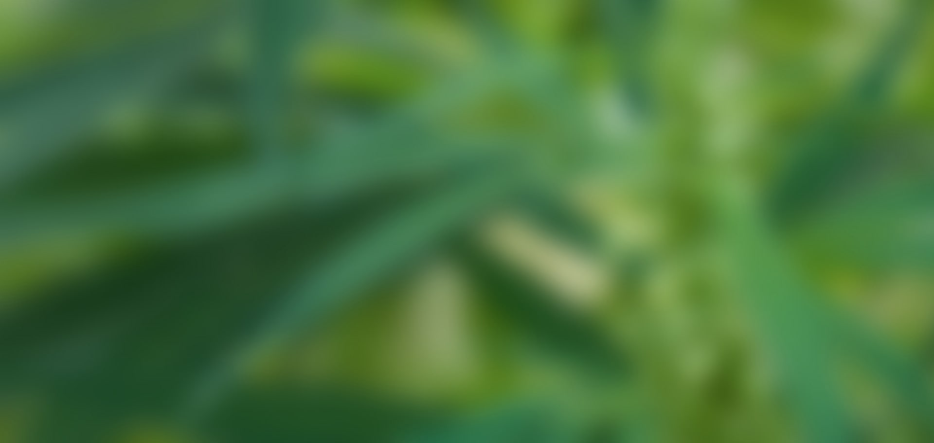 blurred cannabis background