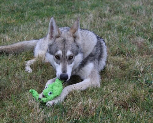 husky dog who uses CBD products plays with toy on the grass