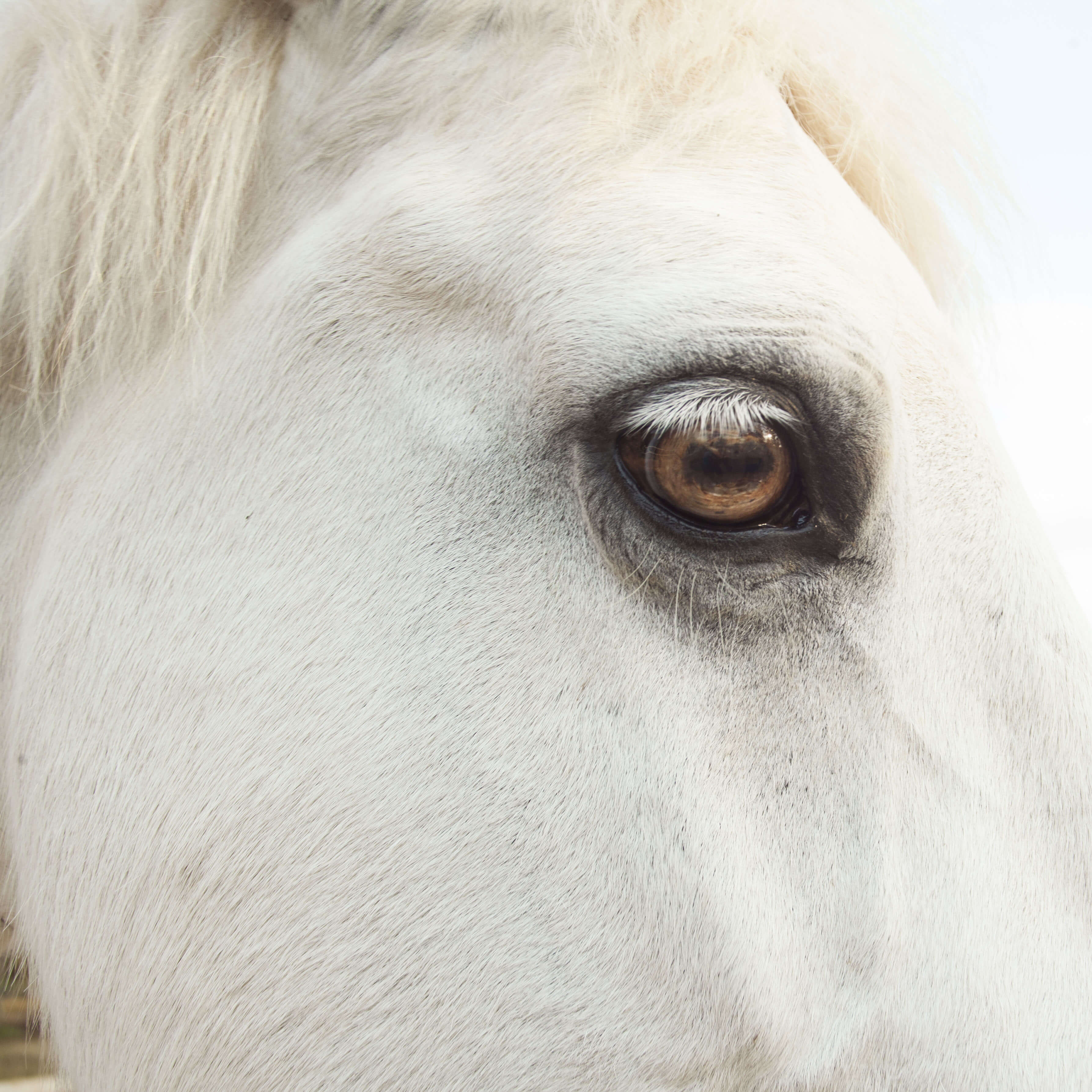 close up of big white horse with brown eyes who uses medical marijuana