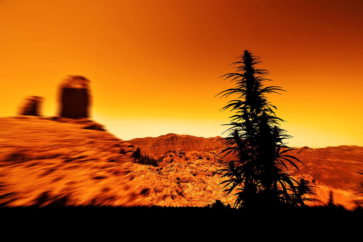 cannabis AU