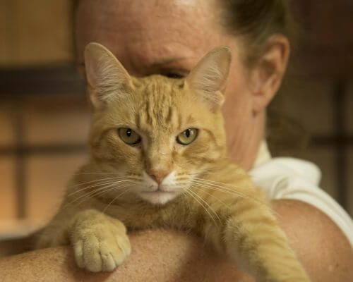 ginger cat that uses CBD oil sitting in womans arms