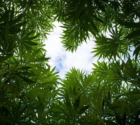 ハート型の大麻畑