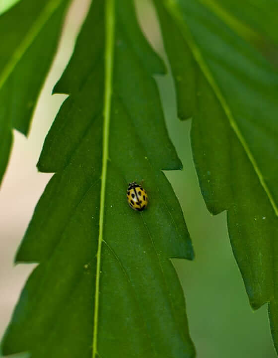 ladybug on hemp leaf