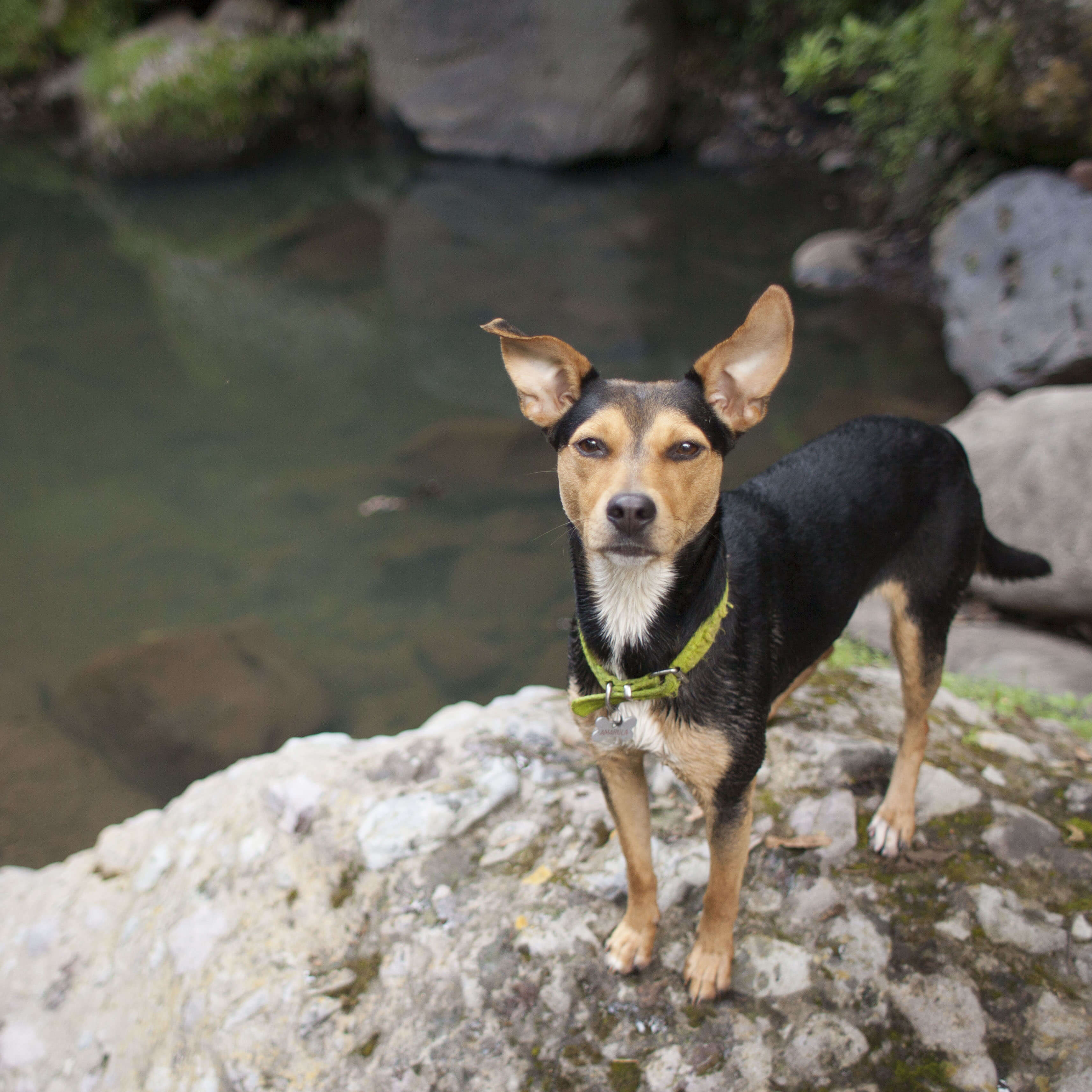 small black and brown dog standing on a rock near a river who uses hemp oil
