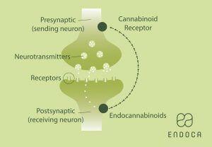 ecs-endocannabinoid-infograph