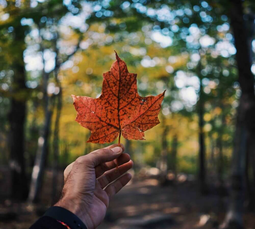 hand holding a maple leaf in the forest