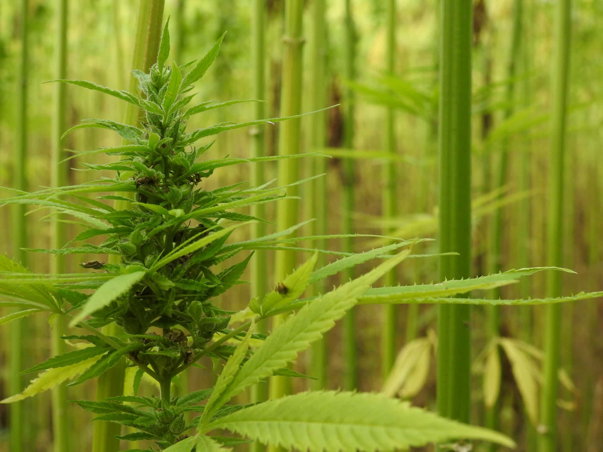 endoca oil about our hemp