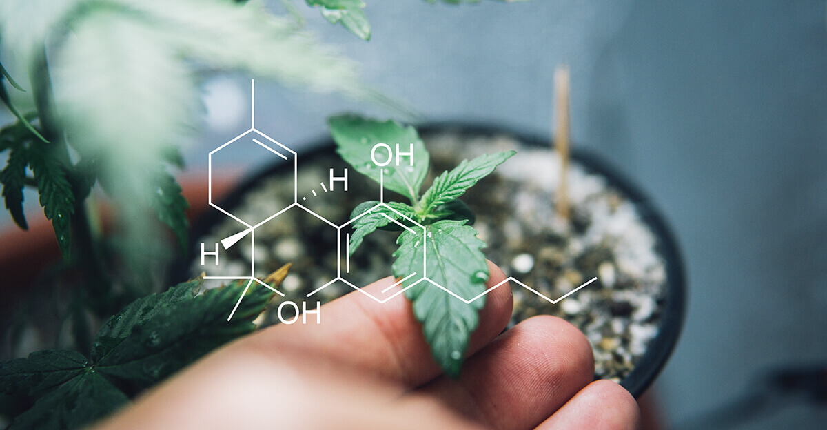 What are cannabinoids-hand holding cannabis leaf