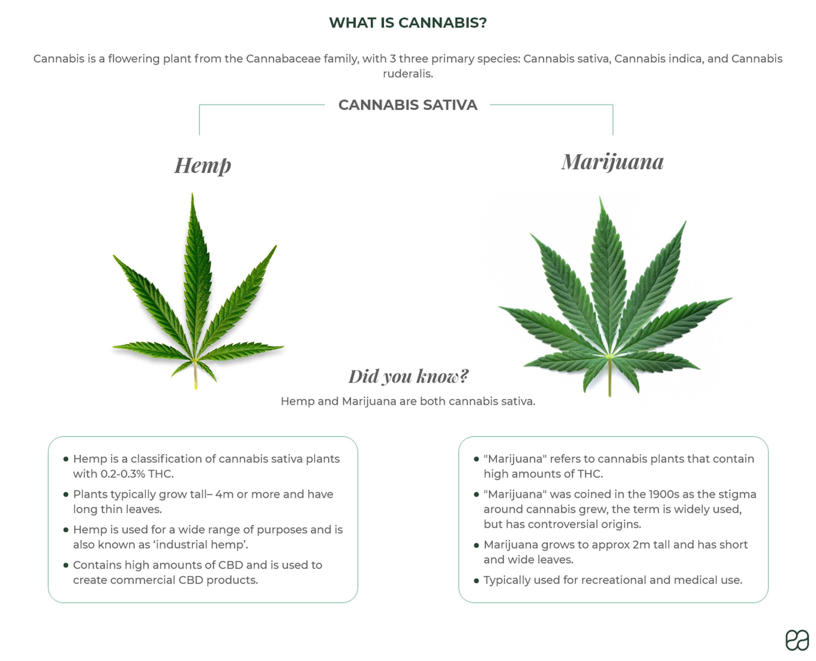 What is cannabis? Hemp and marijuana are both cannabis sativa. Hemp has 0.2% THC. Marijuana has up to 30% THC.
