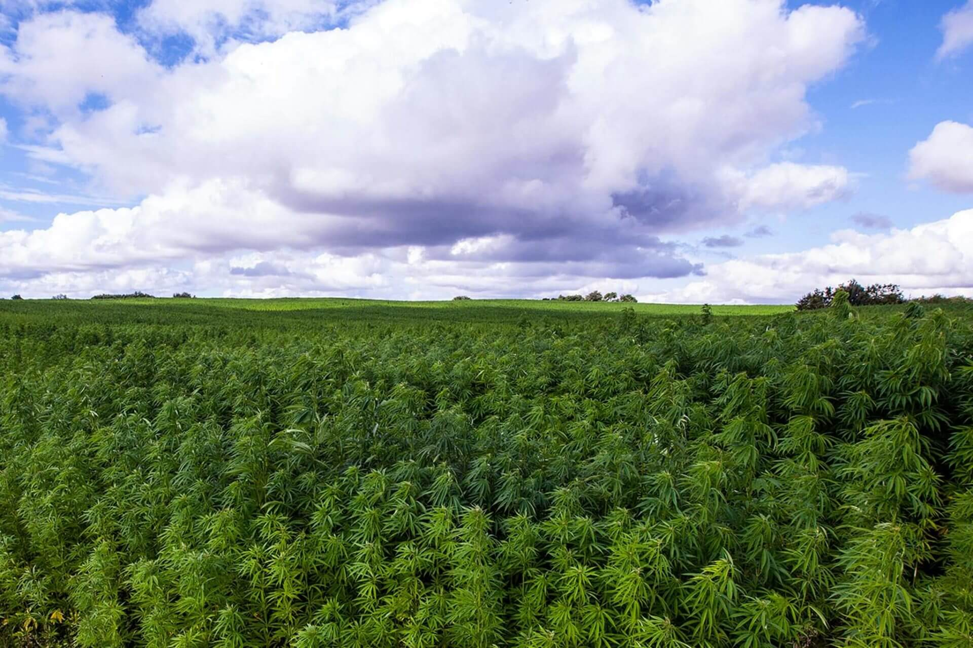 Endoca Hemp Fields