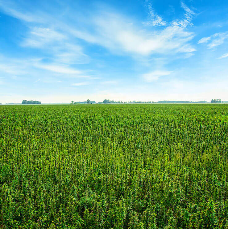 Landscape image of cannabis field with blue sky