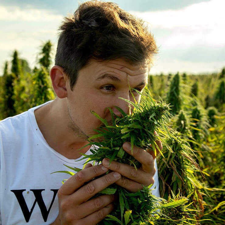 Close up of Henry Vincenty (owner of Endoca) smelling green cannabis plants in cannabis field