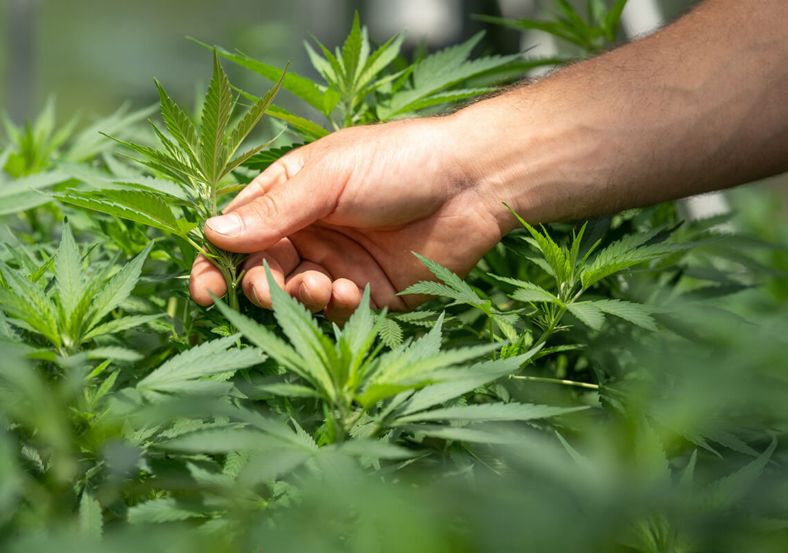 hand touching hemp plants