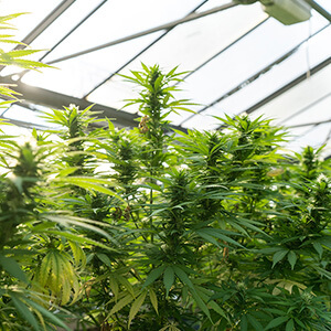 tall green hemp plants in a greenhouse
