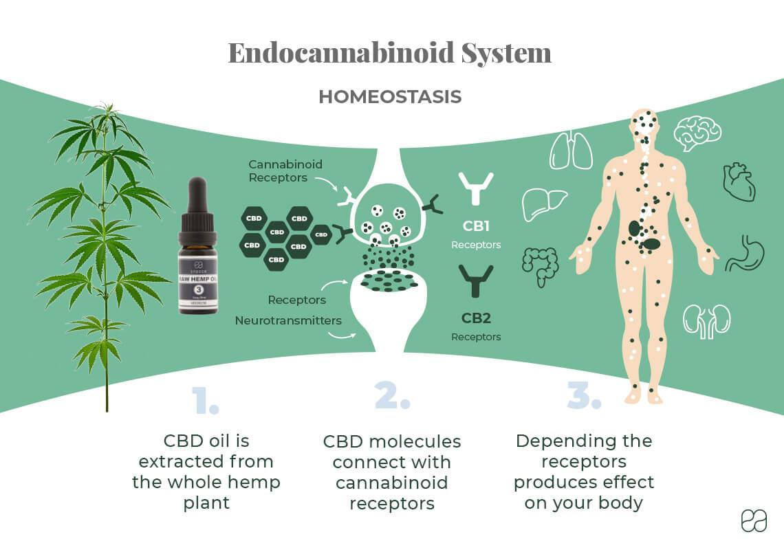 infographic explaining the endocannabinoid system and how CBD influences it