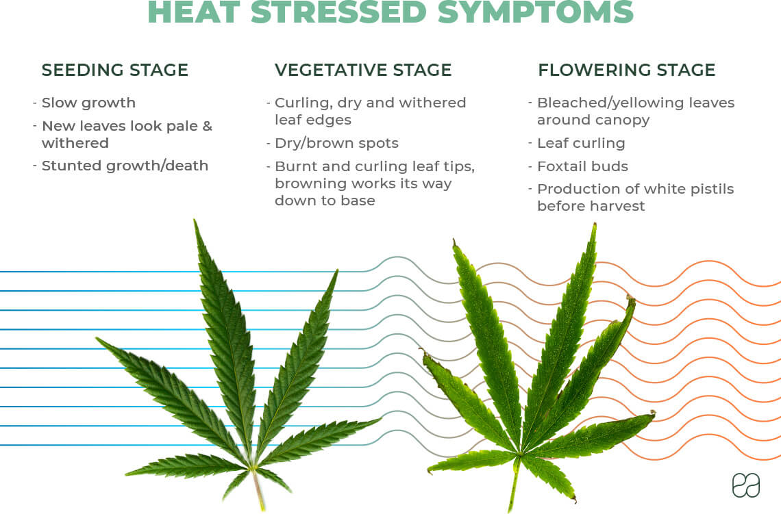 infographic explaining heat stress symptoms in cannabis plant